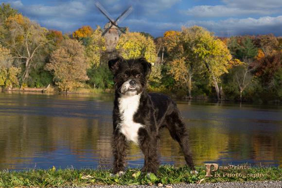 Dog Photo - Sammy - with the windmill