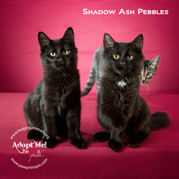 Cat Photo HELP - Shadow Ash Pebbles - 2307 -_