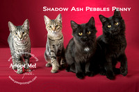 Cat Photo HELP - Shadow Ash Pebbles Penny - 2356 -_