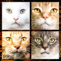 Cat Photo - Faces of a Cat - - WM