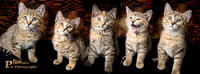 Kitten Facebook Cover Banner